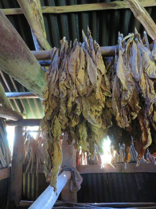 農民收穫的煙草。政府派員檢查評級,分七個等級統一收購。